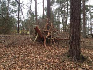 Umgestürzter Baum im Wald