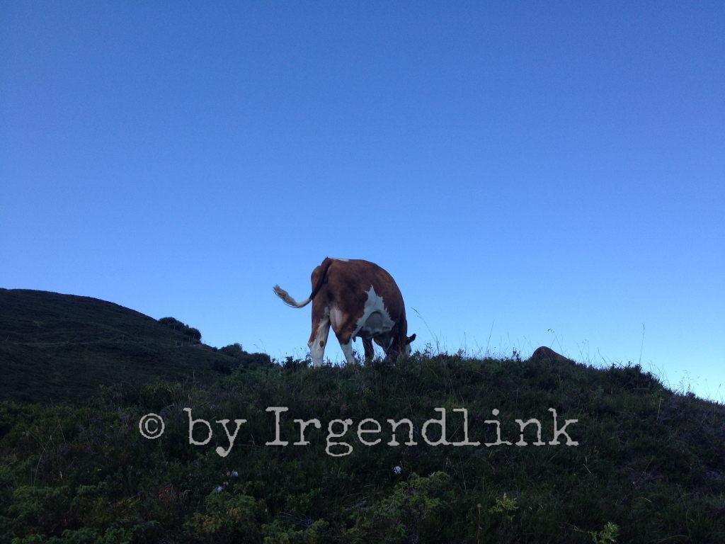 Kuh von hinten auf erhöhter Weide