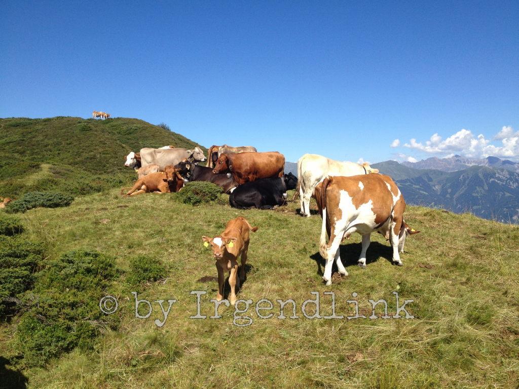 Weidende Kühe, Kälbchen uns zugewandt
